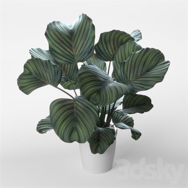 3d models indoor calathea orbifolia. Black Bedroom Furniture Sets. Home Design Ideas