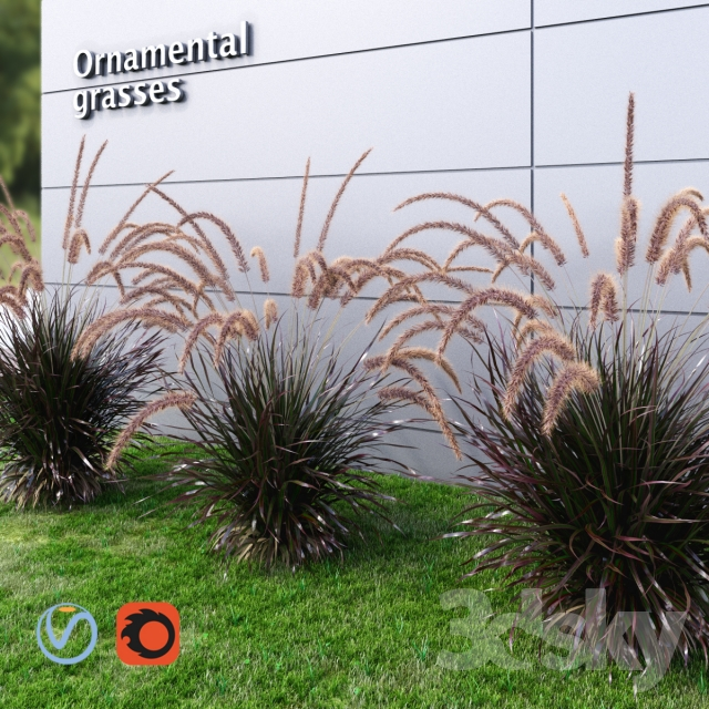 Ornamental grass Fountaingrass purple medium