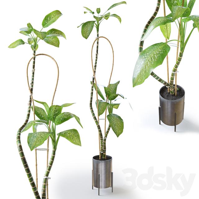 Dieffenbachia Green