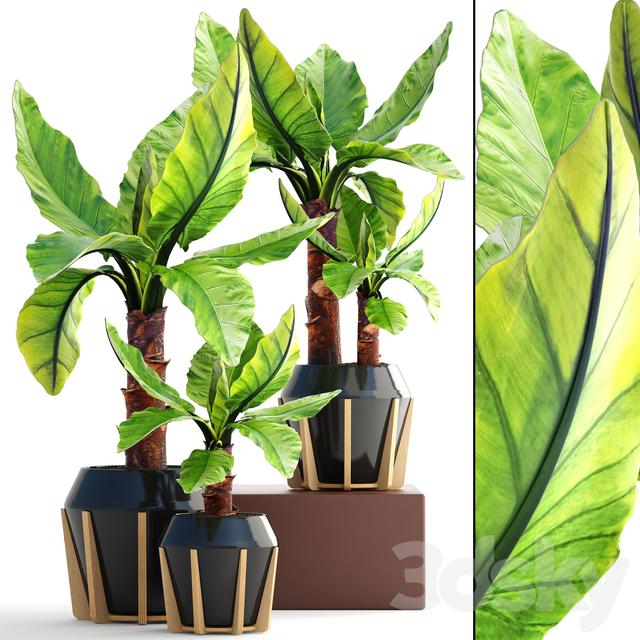 Collection of plants 150. Typhonodorum lindleyanum
