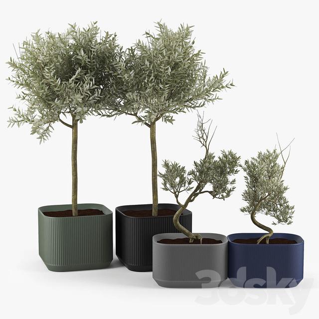 Urbilis Olive Tree