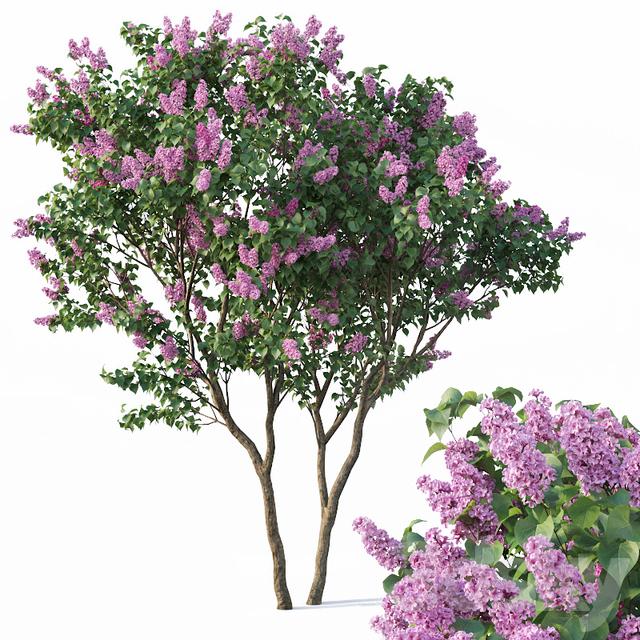 Lilac, Syringa vulgaris # 3 Tree