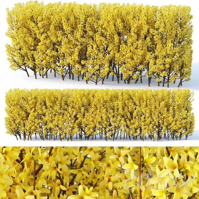 Forsythia # 3 hedge H120 cm