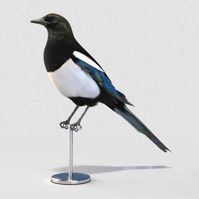 Eurasian (Common) Magpie