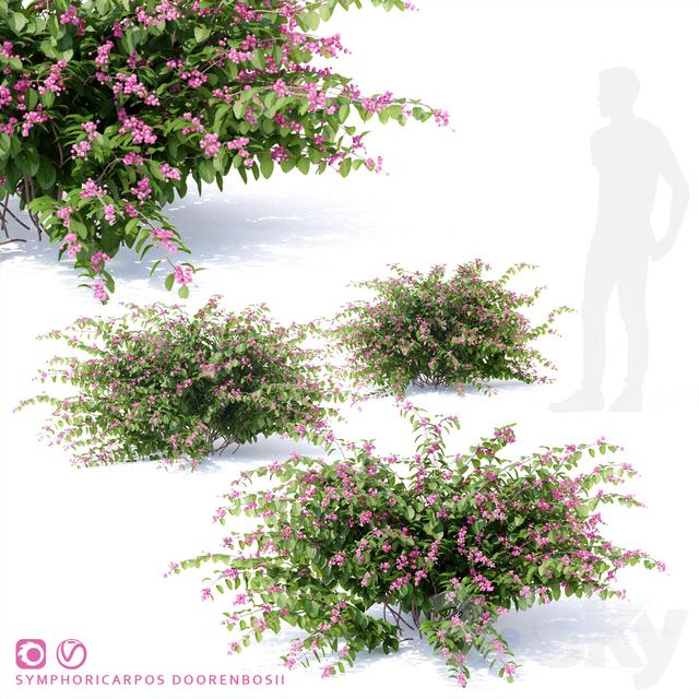 Snowberry Dorenbose bush | Symphoricarpos doorenbosii