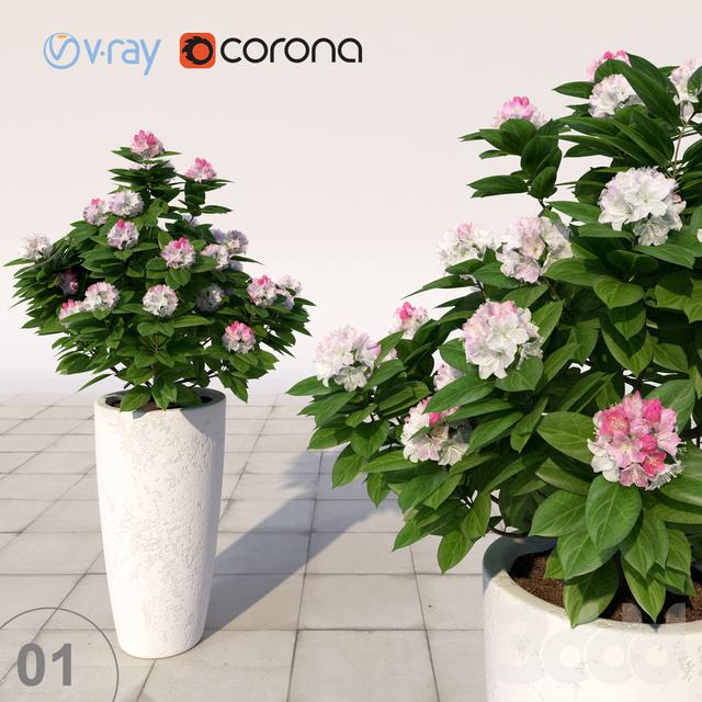 01 Рододендрон цветущий / Rhododendron
