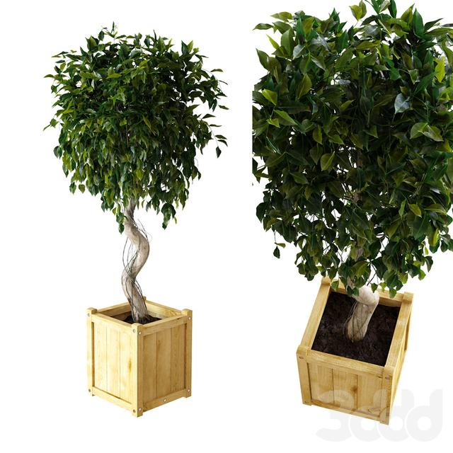 Ficus \ Benjamina