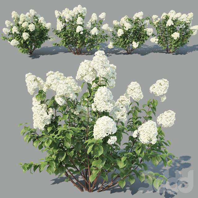 Hydrangea Paniculata 4 variations
