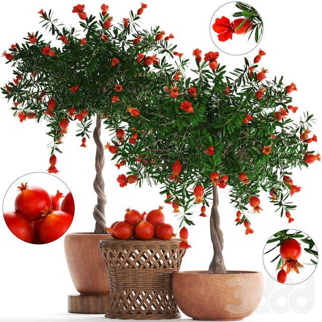 Коллекция растений 264. Pomegranate
