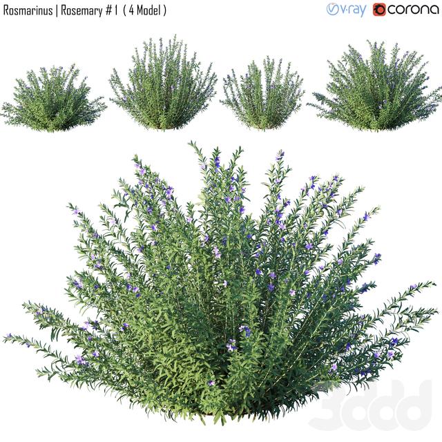 Rosmarinus | Rosemary # 1  ( 4 Model )