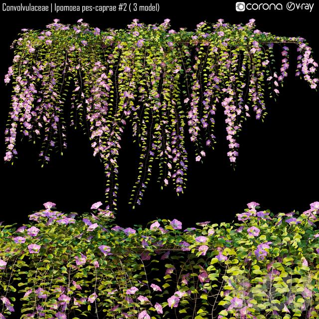 Convolvulaceae | Ipomoea pes-caprae # 2 ( 3 model)