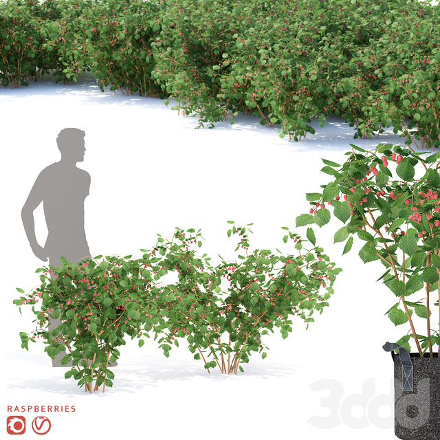 Малина кусты | Raspberries
