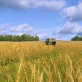 Где-то пшеница еще поспевает, а у меня уже можно собирать