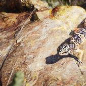 The Common leopard gecko