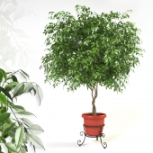 Ficus benjamina on forged stand