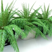 Fern / Nephrolepis in pots Lechuza Bacino Cottage