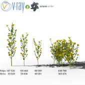 Полевые цветы: Hypericum (зверобой)