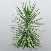 Yucca aloifolia 'Variegata'