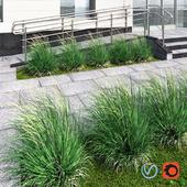 Ornamental grass windy