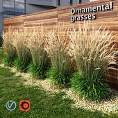 Ornamental grass dry
