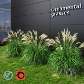Ornamental grass Miscanthus small