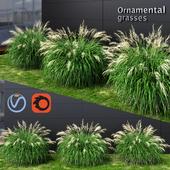 Ornamental grass Miscanthus medium
