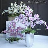 Phalaenopsis Orchids Set - 1