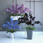 Phalaenopsis Orchids Set - 2