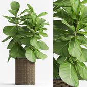Ficus Lyrata (Plant 55)