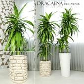 Dracaena deremensis warnakii ulysses