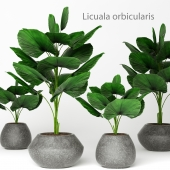 Licuala orbicularis 2