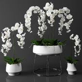 Orchid(phalaenopsis) set
