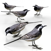 White Wagtail (bird)