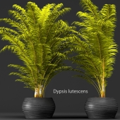 Dypsis lutescens set