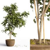 Benjamin_plant