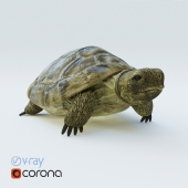 Central Asian turtle