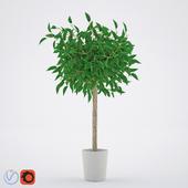 Ficus Benjamina_2