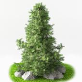 Juniperus pyramidal
