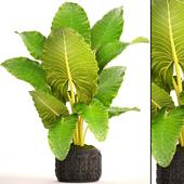 Alocasia macrorrhiza. Tropical plant