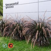 Ornamental grass Fountaingrass purple large