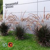 Ornamental grass Fountaingrass purple medium