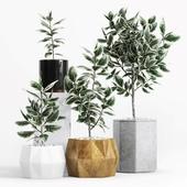 Plants and Planters _8 (Ficus Elastica Variegata)