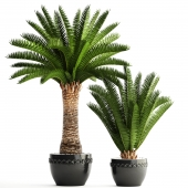 Collection of plants 69. Phoenix canariensis