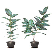 Ficus_02