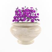 geranium 'Plenum'