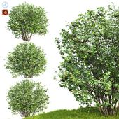 Рябина Черноплодная (Арония)