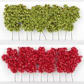 Девичий виноград пятилисточковый parthenocissus quinquefolia