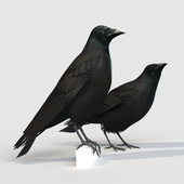 Carrion Crow (bird)