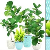 Collection of plants 158. Ficus Lyrata
