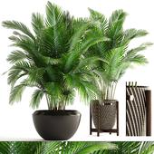 Коллекция растений 164. Areca Palm